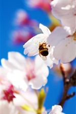 Preview iPhone wallpaper White sakura, petals, bee, hazy