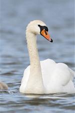 White swan family, lake