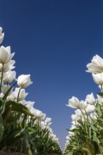 White tulips, flowers field, blue sky