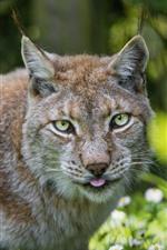 Wild cat, lynx, white flowers