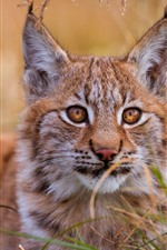 Wildcat, lynx, grass, face, eyes, ears