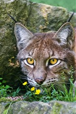 Wildcat, lynx, yellow eyes, front view