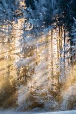 Winter, trees, snow, sun rays, morning