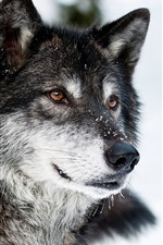 Preview iPhone wallpaper Wolf, face, snow, winter, wildlife