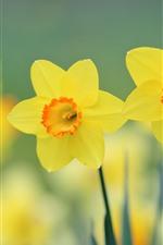 iPhone壁紙のプレビュー 黄色い水仙、花びら、かすんでいる