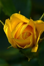 Preview iPhone wallpaper Yellow rose, petals, leaves, hazy