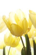 Preview iPhone wallpaper Yellow tulips, water droplets, glare