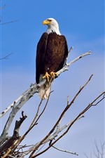 Preview iPhone wallpaper Bald eagle, tree, blue sky