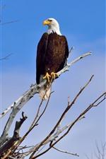 Bald eagle, tree, blue sky