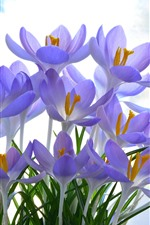 미리보기 iPhone 배경 화면 아름 다운 보라색 crocuses 꽃