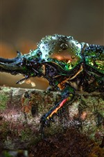 Beetle, horns, insect macro photography, water droplets