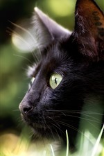 Black cat, look, eyes, hazy background