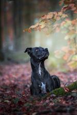 Black dog, autumn, ground, red leaves