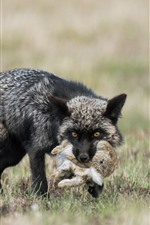Preview iPhone wallpaper Black fox hunt a rabbit