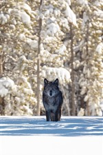 Preview iPhone wallpaper Black wolf, snow, trees, winter