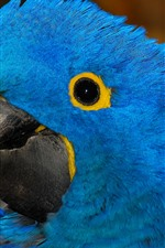Preview iPhone wallpaper Blue feather parrot, head, eye
