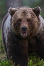 Brown bear front view
