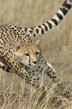 Preview iPhone wallpaper Cheetah hunting deer, speed