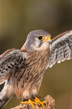 Cute falcon open wings