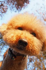 Preview iPhone wallpaper Cute furry dog, look, trees
