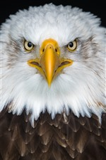 Preview iPhone wallpaper Eagle front view, white and brown feathers, beak, eyes