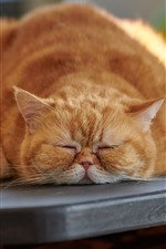 Preview iPhone wallpaper Fat cat in sleeping