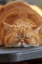 Fat cat in sleeping