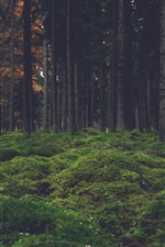 Forest, trees, moss, nature