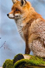 Preview iPhone wallpaper Fox sit on stump