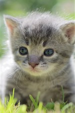 Preview iPhone wallpaper Furry gray kitten, cute pet