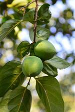 Green fruit, tree