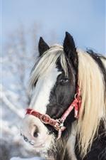 Horse, mane, face, snow, winter