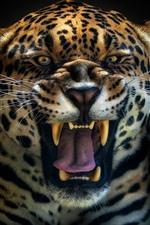 Jaguar roar, face, teeth
