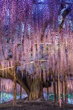 Japão, lindas glicínias, flores roxas