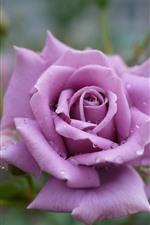 Light purple rose, petals, water droplets