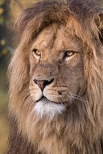 Preview iPhone wallpaper Lion, face, mane, wildlife