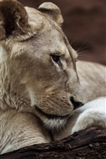 Preview iPhone wallpaper Lioness and cub, wildlife