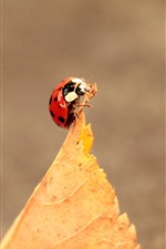 One red ladybug, yellow leaf