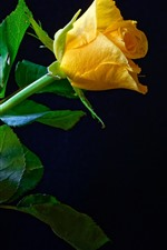 One yellow rose, green foliage, black background