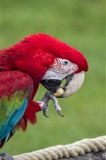 Preview iPhone wallpaper Parrot eat peanut