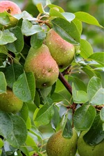 Pear tree, many fresh pears, leaves, water droplets