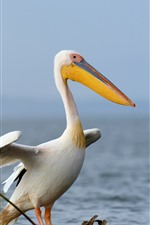 Preview iPhone wallpaper Pelican, birds, lake