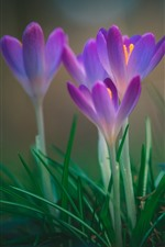 Preview iPhone wallpaper Pink crocuses bloom, spring flowers