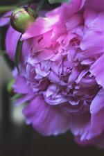 Pink peony, petals, hazy