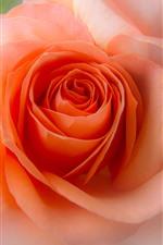 Pink rose close-up, hazy, flower