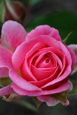 Preview iPhone wallpaper Pink rose close-up, petals, spring
