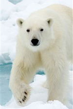 Preview iPhone wallpaper Polar bear look at you, face, snow