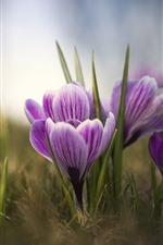 Purple crocuses, petals, bokeh