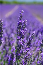 Preview iPhone wallpaper Purple lavender flowers close-up, flower field