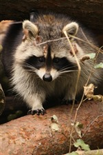 Preview iPhone wallpaper Raccoon, wood